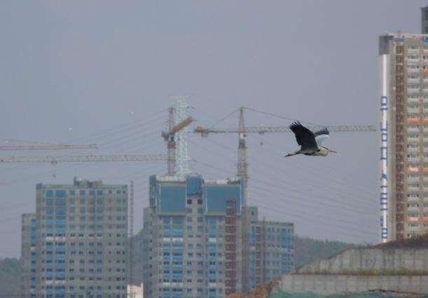 Harmaahaikaran (grey heron) lento