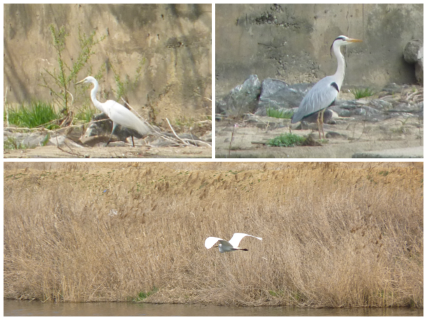 Jalohaikara (great white egret) ja harmaahaikara